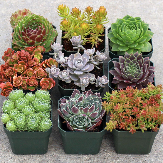 Rock Garden Hardy Succulent Collection 9 Mountain