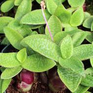 Ledebouria pauciflora 'Green Squill'
