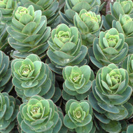 TERRA NOVA® Sedum 'Rosetta' - Close Up