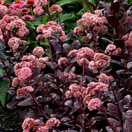 TERRA NOVA® Sedum 'Chocolate Drop' - Blooms Alternate