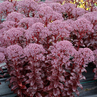 TERRA NOVA® Sedum 'Dark Magic'