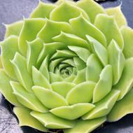 Sempervivum heuffelii 'Jade'