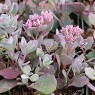 Sedum cauticola 'Lidakense' - Pink Stonecrop