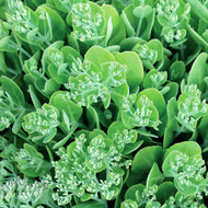 TERRA NOVA® Sedum 'Hot Stuff' - 3