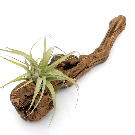 Air Plant Accessory - Grape Wood