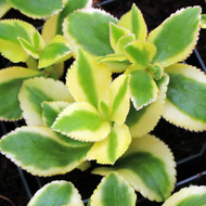 Crassula sarmentosa 'Variegata'