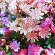 Lewisia cotyledon - blooms