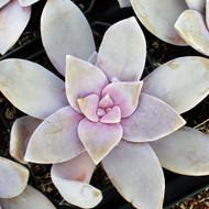 Graptopetalum pentandrum subsp. superbum
