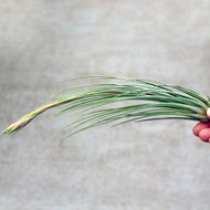 Air Plant - Tillandsia 'Juncea'