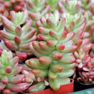Sedum rubrotinctum 'Aurora' - Pink Jelly Bean