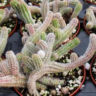 Echinopsis chamaecereus 'Peanut Cactus'