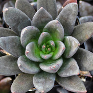 Echeveria affinis 'Black Knight'