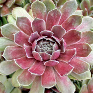 Sempervivum 'Commander Hay' - July Colors