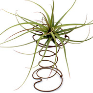 Air Plant Accessory - Bronze Hour Glass Spring - With Air Plant