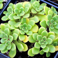 Aeonium lindleyi var. viscatum 'Irish Bouquet'