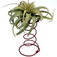 Air Plant Accessory - Red Hour Glass Spring - with plant