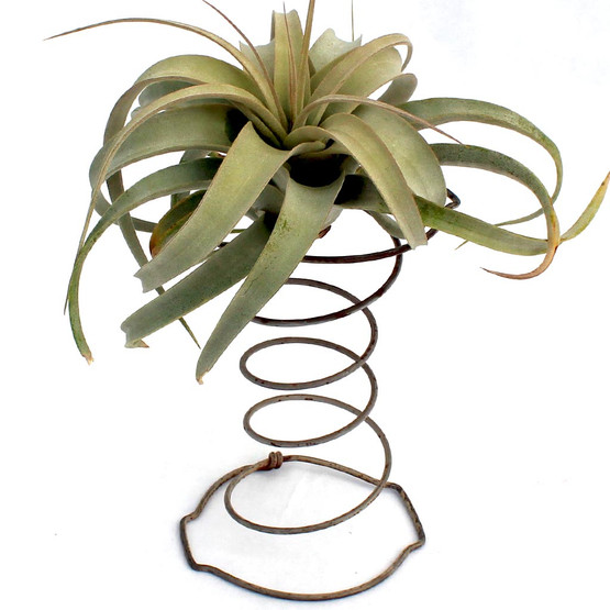 Air Plant Accessory - Square Hour Glass Spring - with plant