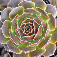 Sempervivum heuffelii 'Artemis' - Rosette - March