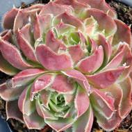 Jovibarba heuffelii 'Pink Skies'