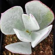 Cotyledon orbiculata 'Pig's Ear'