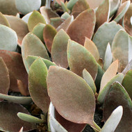 Kalanchoe orgyalis - Copper Spoons