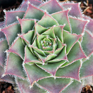 Sempervivum 'Moss Rose' - March