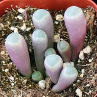 Fenestraria aurantiaca 'Baby Toes'