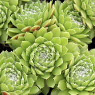 Sempervivum 'Spring Beauty'