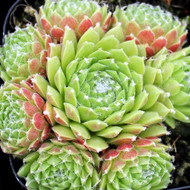 Sempervivum 'Red Nails'