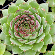 Sempervivum 'Missouri Rose'