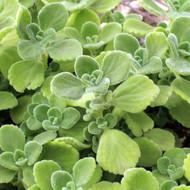 Plectranthus tomentosa - Vicks Plant