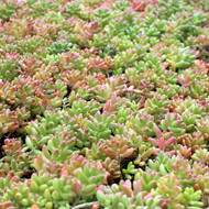 Sedum album 'Orange Ice'