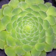 Aeonium tabuliforme – Dinner Plate Aeonium (Rare)