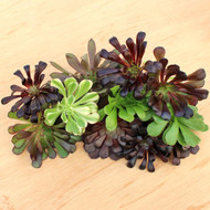 Aeonium Assorted Cuttings