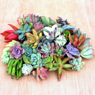 "Assorted Soft Succulent Cuttings 0.75"" to 3.0"" - Half Pound Bag"