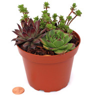 Hardy Succulents in a Terracotta Plastic Pot - 4""