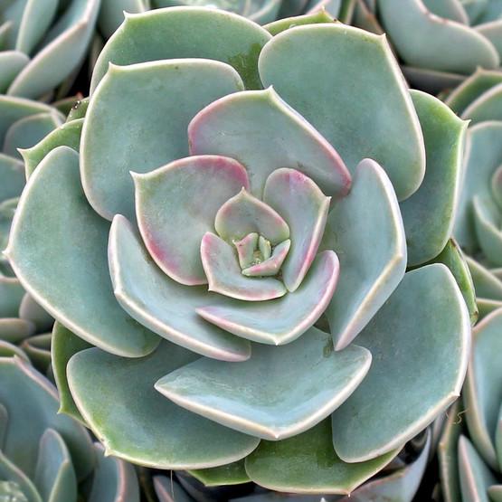 Echeveria 'Green Pearl'