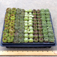 Sempervivum (Hens and Chicks) 100 Mini Plug Tray - 5 Varieties