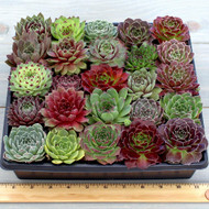 Hardy Rosette Tray - 2in Containers - 25 Varieties