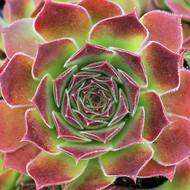 Sempervivum heuffelii 'Pink Spring'