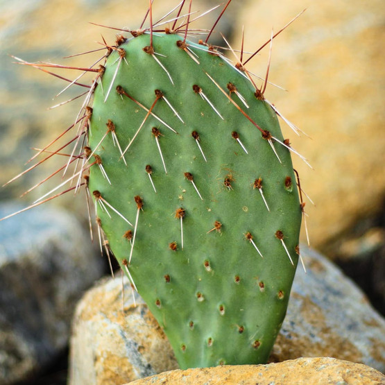 Opuntia 'Desert Skies' Prickly Pear - What You Receive