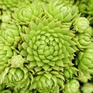 Sempervivum globiferum ssp. Allionii