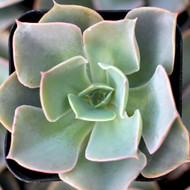 Echeveria 'Water Ripple'