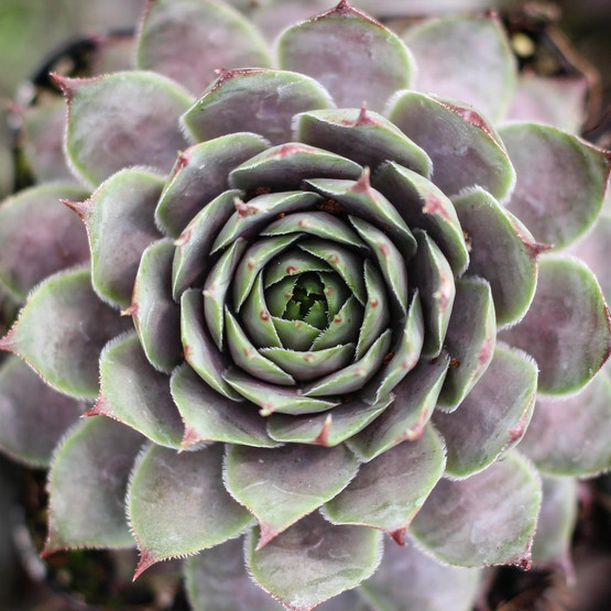 Sempervivum 'Virgil Ford' - Summer