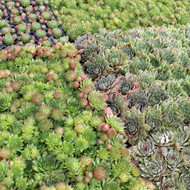 Bulk Succulent Tray - 1.2in Plugs - Choose Your Variety (105)