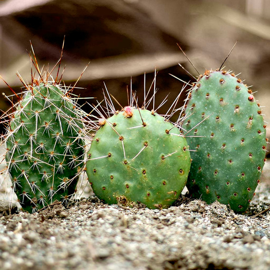 Waterwise Botanicals® Opuntia Cactus Collection - Pads As Shipped