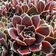 Sempervivum heuffelii 'Irene' - Clump - Summer