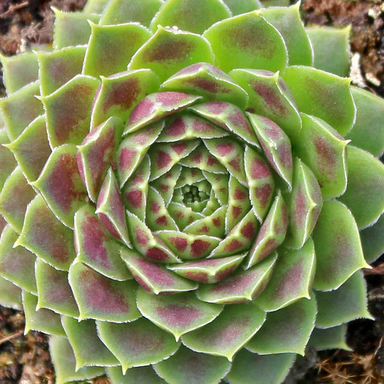 Sempervivum heuffelii 'Jacupica' - Rosette - March