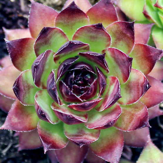 Sempervivum 'Edge of Night'