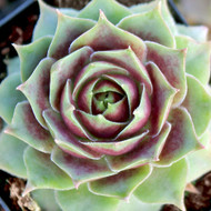 Sempervivum 'Fame' - January